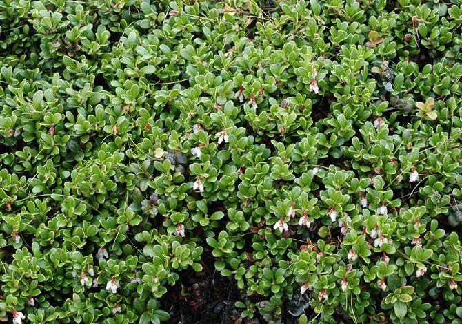 Arctostaphylos_uva-ursi,Bearberry