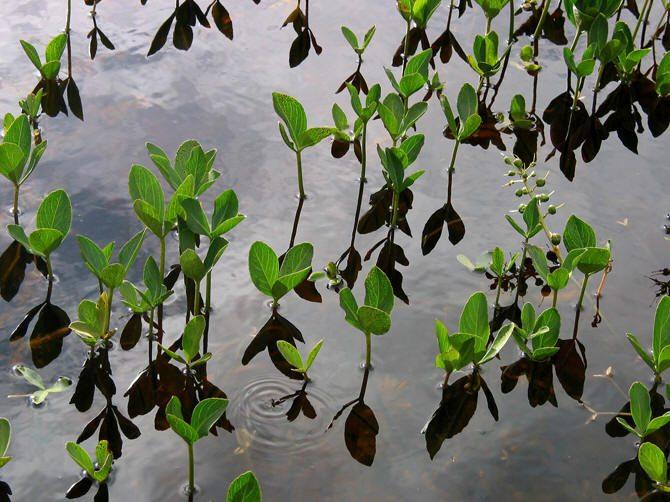 Menyanthes_trifoliata, bogbean