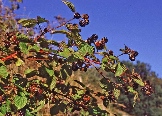 Blackberry-Rubus_villosus in fruit at the end of the summer
