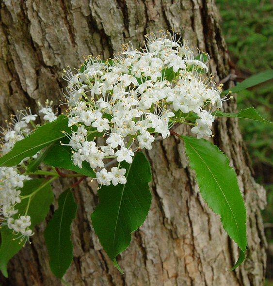 Viburnum_prunifolium,Black Haw