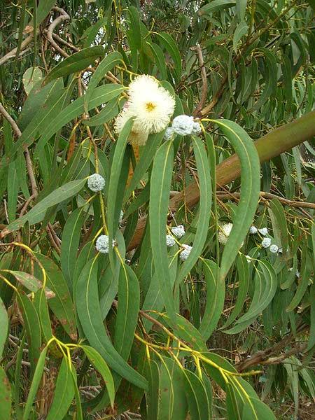 Eucalyptus_globulus_lea