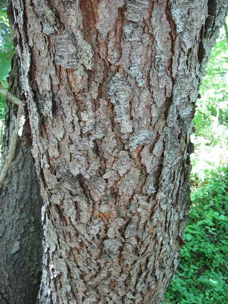 Wild Cherry Bark - Bot... What Prunus Serotina Bark Look Like