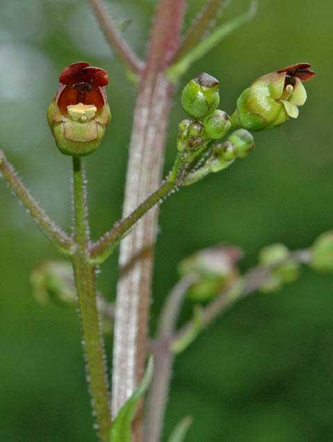 figwort flower
