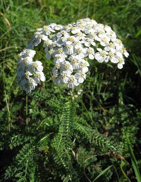 yarrow,Achillea_millefolium