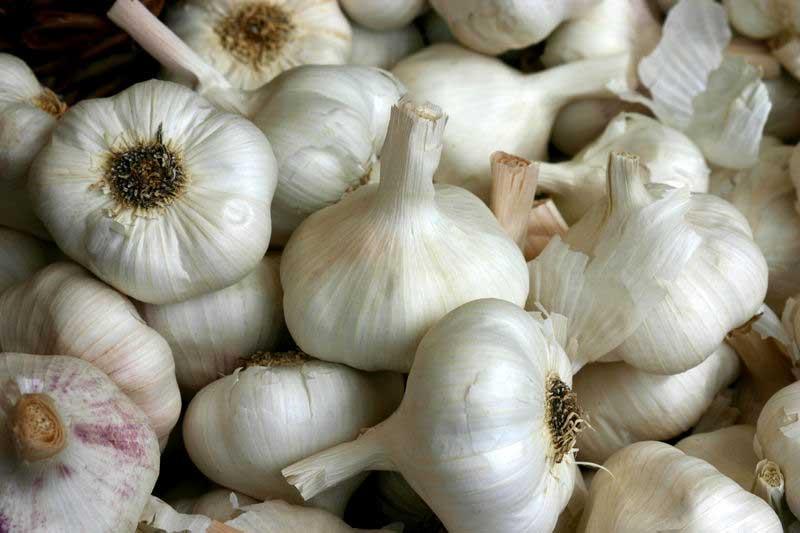Garlic,allium satvium