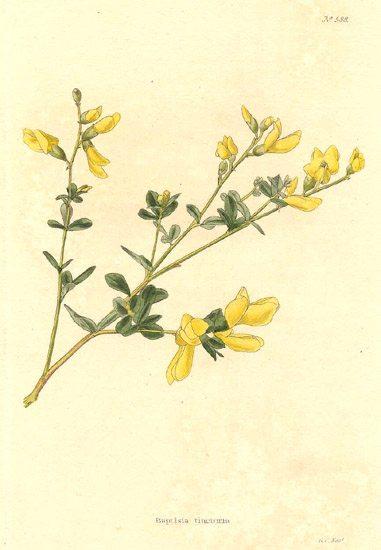 Wild_indigo,Baptisia-tinctoria
