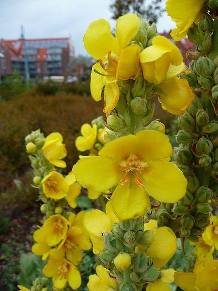 mullein_flowers,Verbascum_thapsus